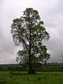 Ulmus minor tree.jpg
