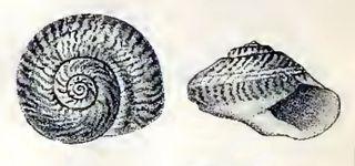 <i>Umbonium suturale</i> Species of gastropod