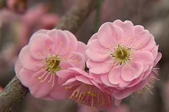 Prunus mume - Blossoming in Japan