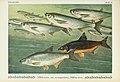 Unsere Süßwasserfische (Tafel 40) (6102604451).jpg
