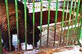 Ursus americanus at Giza Zoo by Hatem Moushir 3.JPG