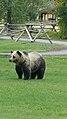 Ursus arctos horribilis - Shoshone National Forest - September 2017 02.jpg