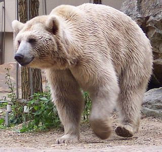 Syrian brown bear subspecies of mammal