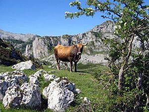 Vaca en el Pico Llucia, Lagos de Covadonga, (Asturias)..jpg