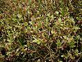 Vaccinium myrtillus01.jpg