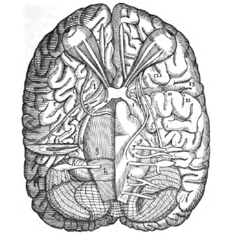 Costanzo Varolio - Illustration from De Nervis Opticis by Varolius