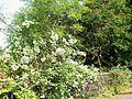 Vasantrutu Blooms in BMCC Pune in 2011 - panoramio.jpg