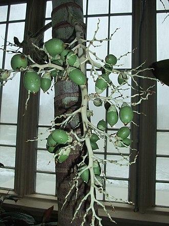 Adonidia merrillii - Image: Veitchia Merrillii Fruit