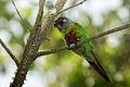 Venezuelan Parakeet - Perico Pintado ( Pyrrhura picta emma).jpg