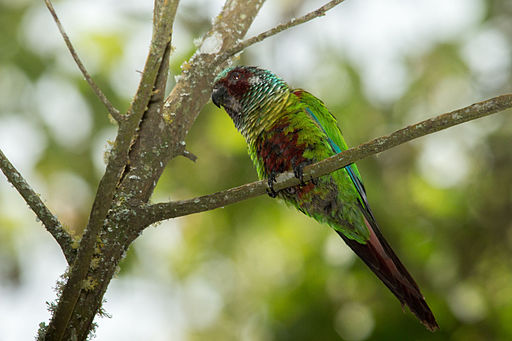 Venezuelan Parakeet - Perico Pintado ( Pyrrhura picta emma)