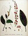 Verbascum nigro-phoeniceum — Flora Batava — Volume v20.jpg