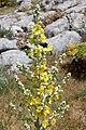 Verbascum songoricum (Scrophulariaceae) (33196282385).jpg
