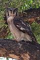 Verreaux's eagle-owl, or giant eagle owl, Bubo lacteus eating a snake at Pafuri, Kruger National Park, South Africa (20659009366).jpg