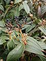 Viburnum davidii 01.jpg