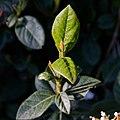 Viburnum tinus-Viorne tin-Feuilles-20210309.jpg