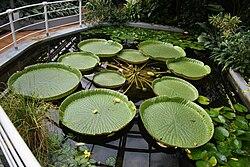 Семена Виктория амазонская (Victoria amazonica)