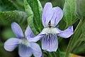 Viola adunca - Flickr - aspidoscelis (1).jpg