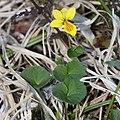 Viola biflora s2.jpg
