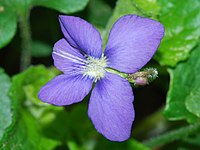 Viola nephrophylla (4600731762) 4x3.jpg