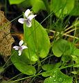 Viola palustris1.JPG