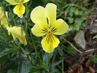 Viola sudetica a1