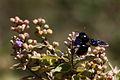 Violet carpenter bee (xylocopa violacea).JPG