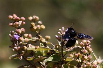 Xylocopa violacea - Image: Violet carpenter bee (xylocopa violacea)