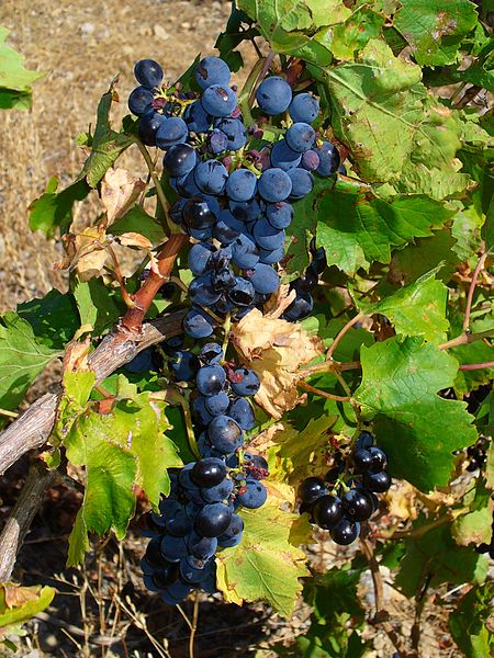 Vitis vinifera, Vitaceae, Common Grape Vine, fruits. Les Cabanes de Lapalme, France