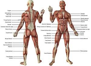 Vue antérieure et postérieure des muscles du corps de l'homme.jpg
