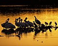 Wading birds at sunset (6293105641).jpg