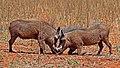 Warthogs (Phacochoerus africanus) young males eyeballing.jpg
