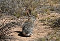 Wascally wabbit (3385625543).jpg