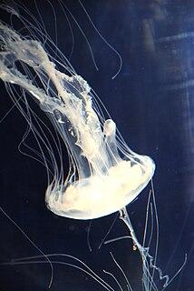 <i>Chrysaora quinquecirrha</i> Species of jellyfish