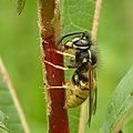 Wasp and Willowherb - geograph.org.uk - 1428616.jpg