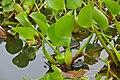 Water Hyacinths (Eichhornia crassipes) (29282783215).jpg