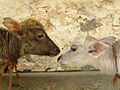 Water buffalo calves, Bubalus bubalis, India.jpg