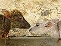 Water buffalo calves, Bubalus bubalis, India.jpg