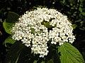 Wayfaring-tree (Viburnum lantana) (8960080501).jpg