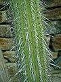 Weberbauerocereus weberbaueri 2020-02-08 7009.jpg