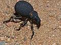Weevil (Brachycerus labrusca) (13644984215).jpg