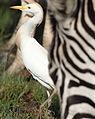 Westerm cattle egret, Bubulcus ibis at Rietvlei Nature Reserve, Gauteng, South Africa (22779424646).jpg
