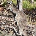 Western Grey kangaroo pulling at itch.jpg