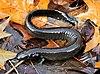 A long dark salamander lacking hindlimbs