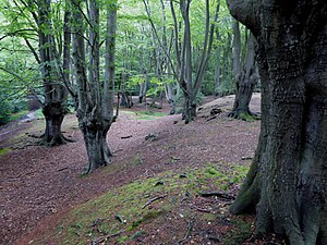 Loughton Camp - Western bank, with pollarded trees