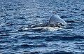 Whale, Diving (15302955724).jpg