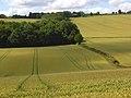 Wheat, Radnage - geograph.org.uk - 892172.jpg