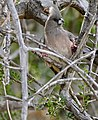 White-backed Mousebird (Colius colius) (31918306524).jpg