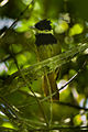 White-bearded Antshrike - Intervales - Brazil S4E9828 (16822007152).jpg
