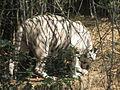 White Tiger 3.JPG