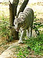 White Tiger Vandalur Zoo.jpg